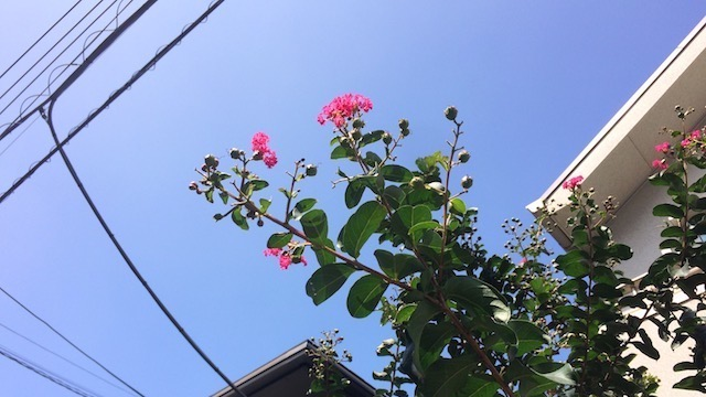 サルスベリも初夏から秋の季節の花