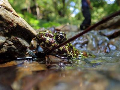 「日本一美しいカエル」と呼ばれることもあるイシカワガエル。