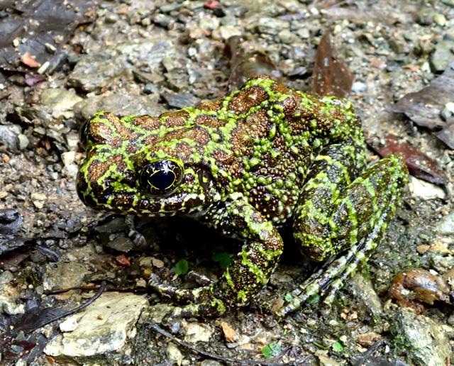 日が暮れてからもう1匹発見!緑と金色がかった褐色の斑点が綺麗。この美しさは写真では伝わらない。