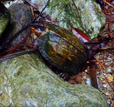 つづいてこちらも天然記念物!リュウキュウヤマガメ。沢沿いに棲んでいるためか甲羅に苔がこびりついている。