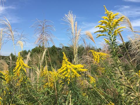 ススキとともに花を咲かすセイタカアワダチソウ。共存できます。