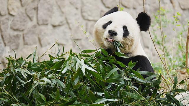 中国の北京動物園のパンダ