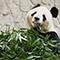中国でパンダにまみれ心のパンダを通わせる