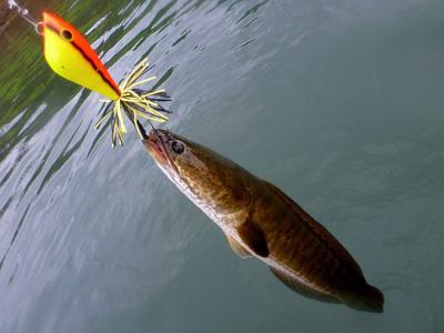ストライプドスネークヘッド。現地語でプラーチョンと呼ばれ、食用としても広く流通している。どんな料理にも合い、非常に美味しい魚。