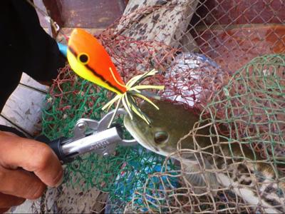 ジャイアントスネークヘッド。タイではチャドーと呼ばれる。引きが強いので釣り人に人気。