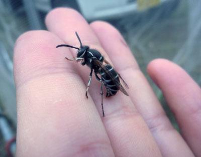 キイロスズメバチより小型のクロスズメバチ(地域によってヘボやジバチとも)。「蜂の子」として広く食用にされるのはこの種の幼虫や蛹。