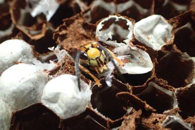 蓋を破ると、新成虫が這い出してくることもある。生まれたてゆえか動きは鈍い。