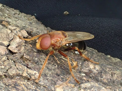 なんと!巣の中からハチではなくアブが出てきた。これはスズキベッコウハナアブといって卵・幼虫・蛹時代をスズメバチの巣で過ごす変わった生態の持ち主。この虫を見られただけでも巣を獲った甲斐があった。ちょうど羽化したところだったのだろうか?あるいは卵を産みに来ていたところで巻き添えを食らった?