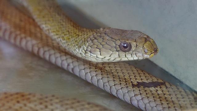 かっこいいが危険を感じると臭いにおいを出す。だから臭蛇、くさかっこいい。
