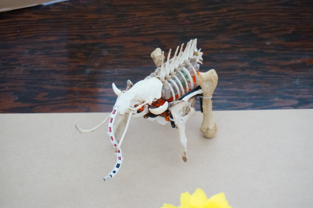 This is a robot entrusted to us by a friend of Adrian. This friend works in a zoo, and the bone parts were all real.