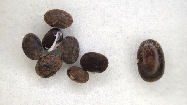 吸水しない石粒豆。右がまれにある、比較的吸水した豆