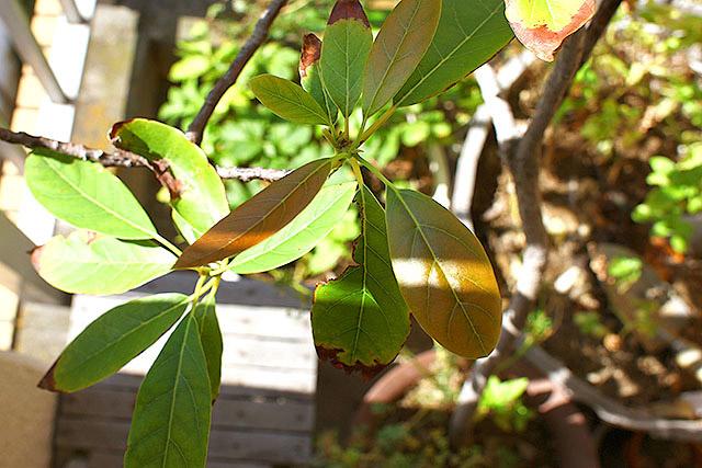 アボカドの葉っぱ。20年近く育ててますが観葉植物以上のものにはなりそうにありません。