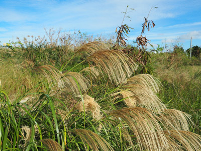 ほぼ常夏みたいな石垣島といえど、秋になればススキが穂をそよがせる。景色に反して暑っついけどな。
