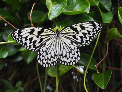 オオゴマダラという日本一でっかい蝶(素手で捕まえられるほどのんびり飛ぶので「バカチョウ」という別名がある)だけ。