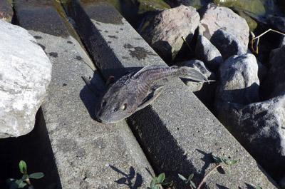 寒波は沖縄に暮らす外来魚の大敵。冷え込みが続いたあとは池の畔に大量のティラピアやマダラロリカリアの死骸が打ち上がることも。
