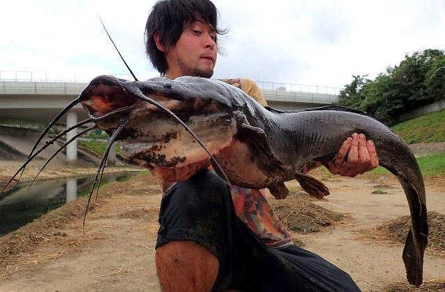 以前記事にした香港の巨大ナマズもクラリアスすなわちクララの一種。あちらは異臭を放つドブで釣ったため非常に不味かったが、沖縄産の彼らはどうだろうか。