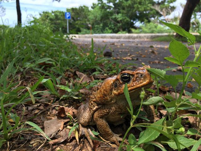 そんな石垣島の生態系に突如として南米から飛び込んできたのが今回捕って食べるオオヒキガエル。