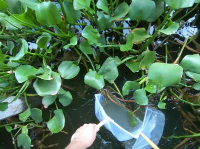 水草の陰に追い詰めて網を入れると…
