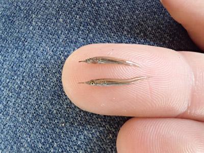 幼魚にいたってはこの小ささ!でもちゃんとサヨリ!