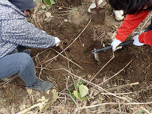 手分けをしてクズの根元を掘っていく。