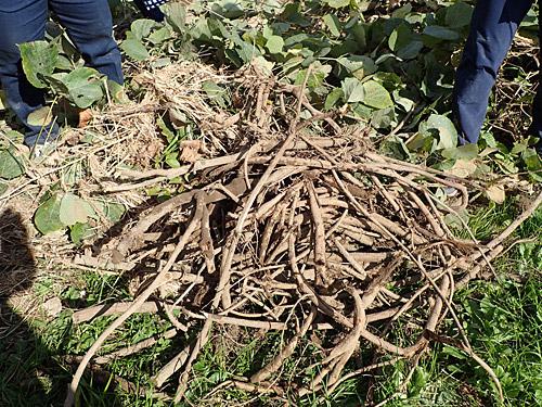 この根からデンプンがとれるのだろうか。ただクズの除草をしただけのような気がしてきた。