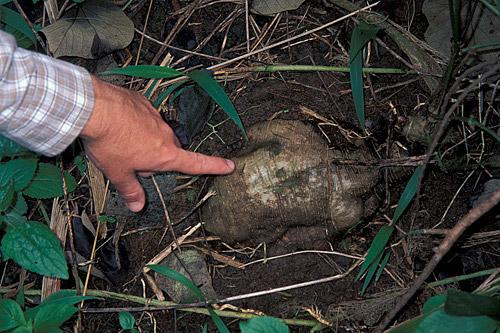 ウィキペディアに載っていたクズの根。全然違うな。