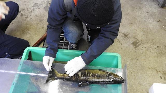 魚の体長と体重を測る。57.5cm、1.9kgとやや小ぶり。