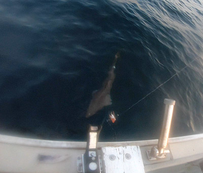 500メートルの旅路を経て水面へ浮いたのは…サメだ!深海鮫だ!