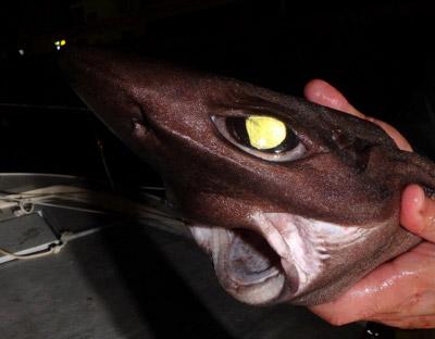 この手の深海鮫の口は下向きに小さく開く。そして鮫にしては歯が小さい(ただし鋭いので扱いには注意)。近海の鮫のように大きな獲物を追いかけて切り裂く!というより落ちている餌を吸い込む、あるいは削り取るような食事方法に特化しているのかも。