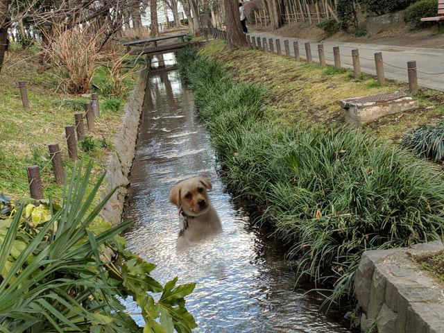 「川に流された犬を助けるので遅れます」