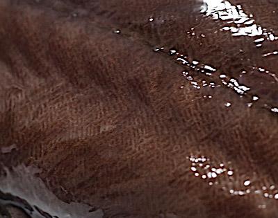皮膚をよーく見ると細かい模様が。これは皮下に埋没した鱗。実は同様の模様はニホンウナギにも見られる。