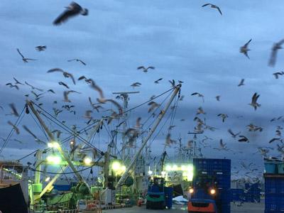 ハモびきの船が帰港してくると、おこぼれにあずかろうとカモメたちが大挙して押し寄せる