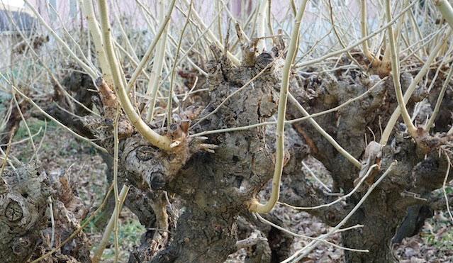 このややこしい枝と樹皮!