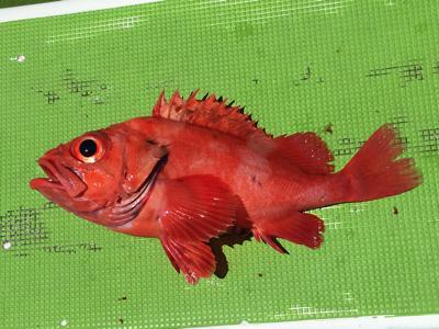 アコウダイの仲間だとか、赤くて高級な魚が多いかな。どれも脂ノリノリ。