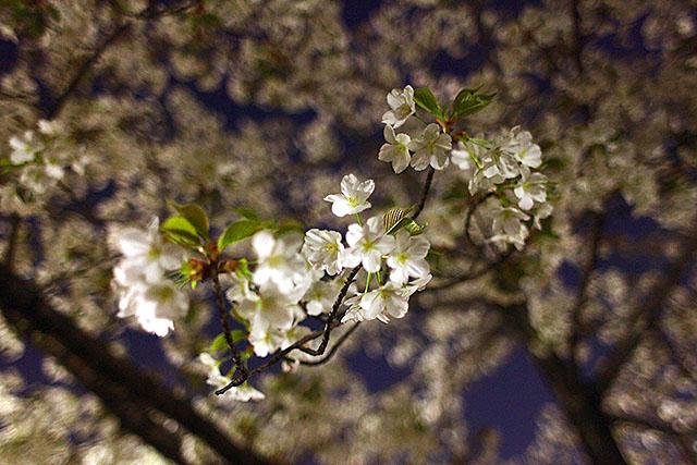 満開の桜にも。