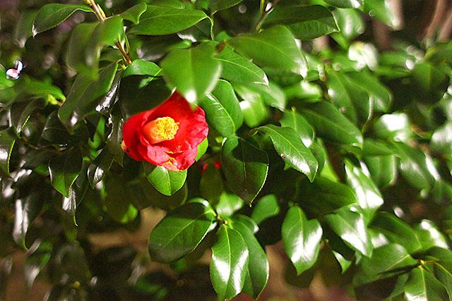 椿。花言葉は『謙虚な美徳』