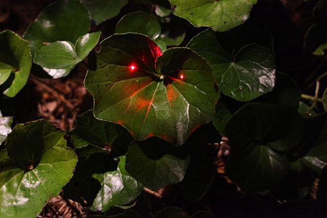 フキの葉っぱにレーザーを当てたらベイマックスっぽくなったと思ったけど画像検索したらそうでもなかった。