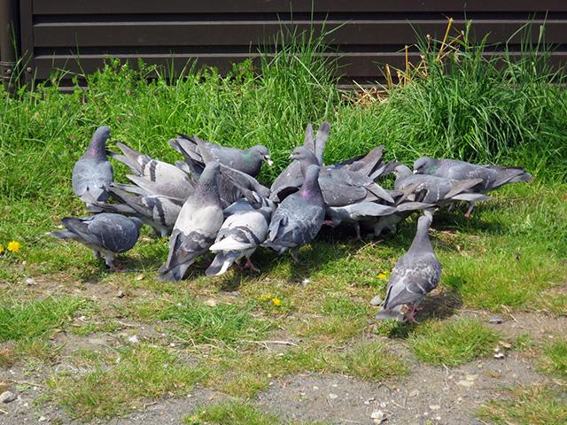 ものすごい勢いで大量の鳩が何かをついばんでいた
