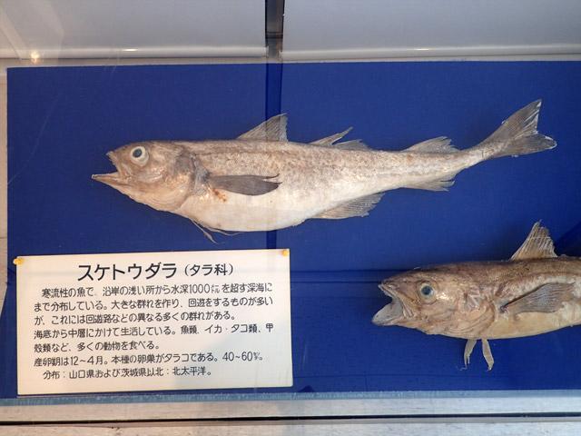 後述する『ハクハク』の展示から、明太子の原材料となるスケトウダラ。博多周辺ではほとんど捕れないけど、なぜか博多の名物となっている。