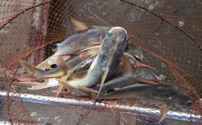 ハマギギ類は海外だと普通に食用になっている。写真は東南アジアの汽水域で採れる種。