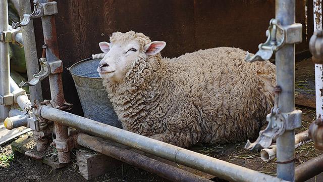羊も美味しいけどね!