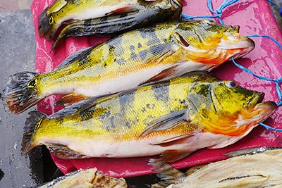たぶん日本にいない魚、たぶん