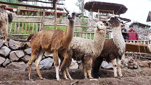 南米ペルーでアルパカの肉を食べます。地主くんいわく見どころは「グアナコ、アルパカ、リャマの3ショットです!」とのこと。レアなんだって。