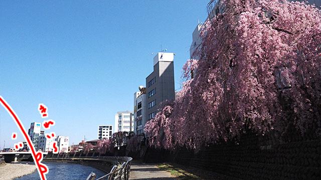 ずーっと桜並木。これだけたくさんのしだれ桜が咲いてるのあまり見ないかも!
