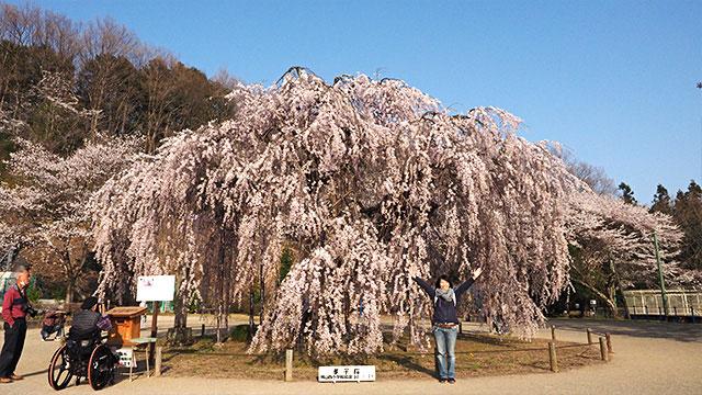 こちらも桜! 「孝子桜(こうしざくら)」と呼ばれる樹齢450年の桜だ。
