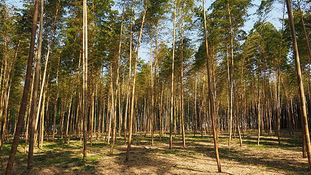 こちらは「金明竹」という黄色がかった竹林。幻想的。