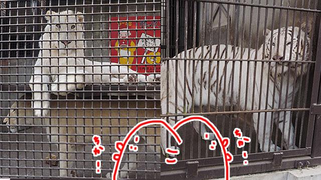 珍しいホワイトライオンとホワイトタイガーもこの近さ! 初めて見た。