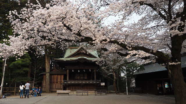 神楽殿の前の桜が見事! 参拝客が見惚れていた。