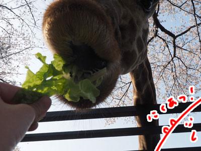 キリンの唇は肉厚でフサフサなのも知った旅。