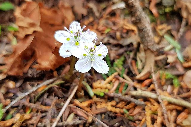 足元にはきれいな花。バイカオウレン。梅花(バイカ)に似てるからそういう名前だそうな。